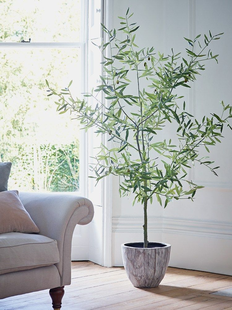 10 Most Popular Indoor Trees To Grow How To For Beginners Pastel Dwelling Potted Olive Tree Indoor Trees Indoor Tree Plants