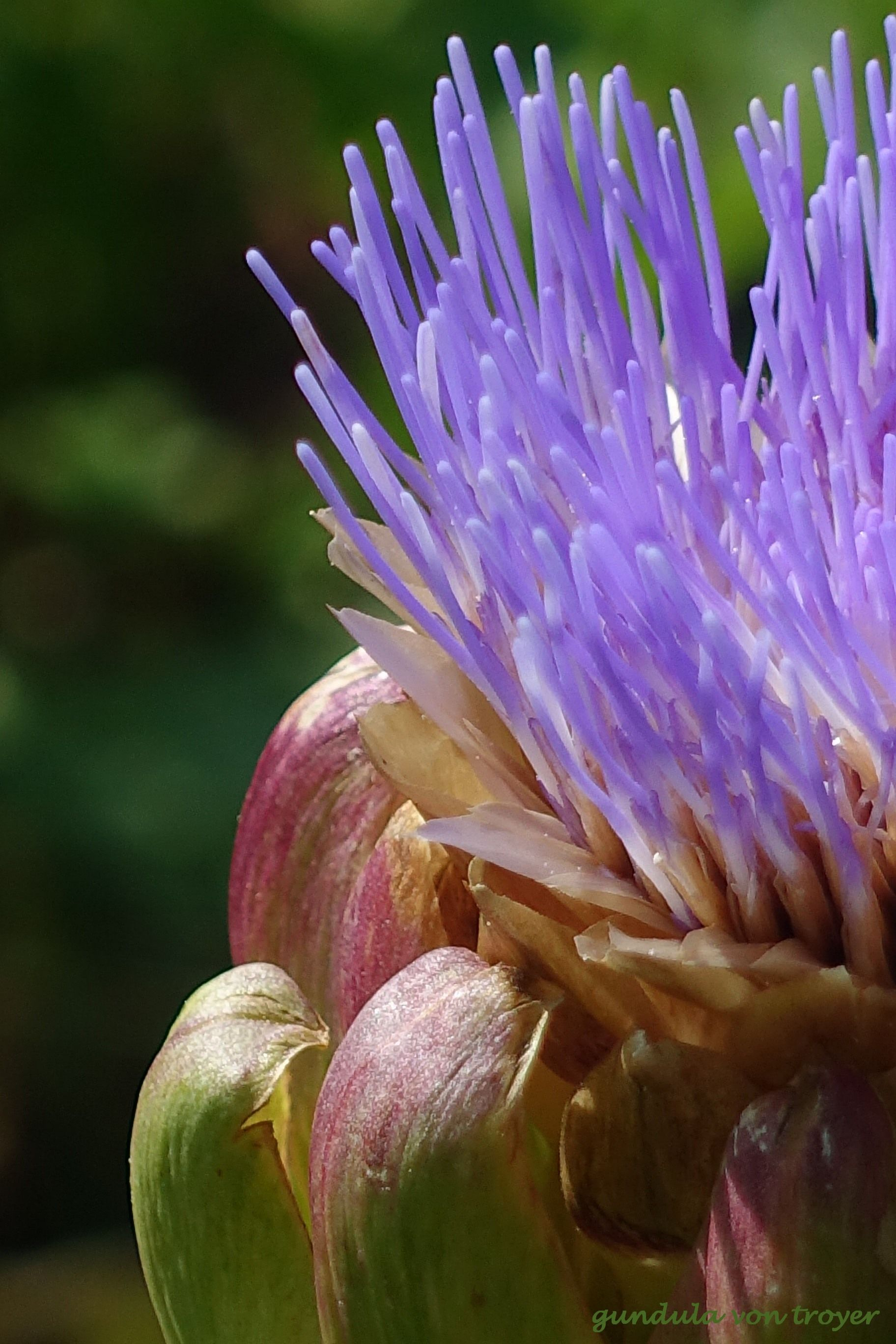 Artischockenblute Artischocke Artischockenblute Pflanzen Garten