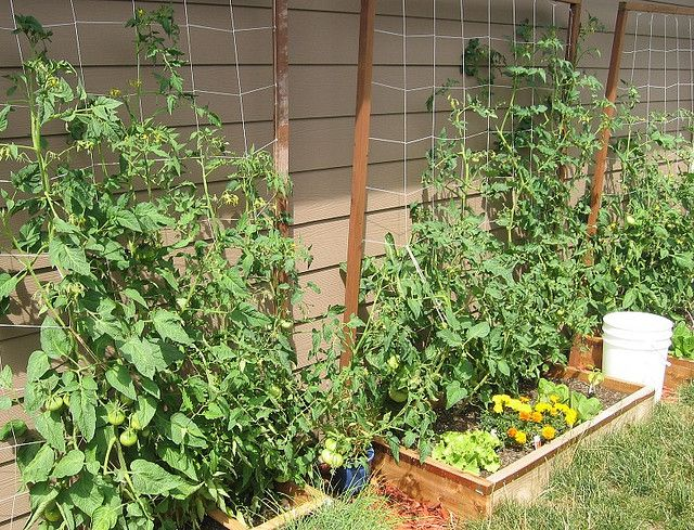 Tomato Plants In The Garden