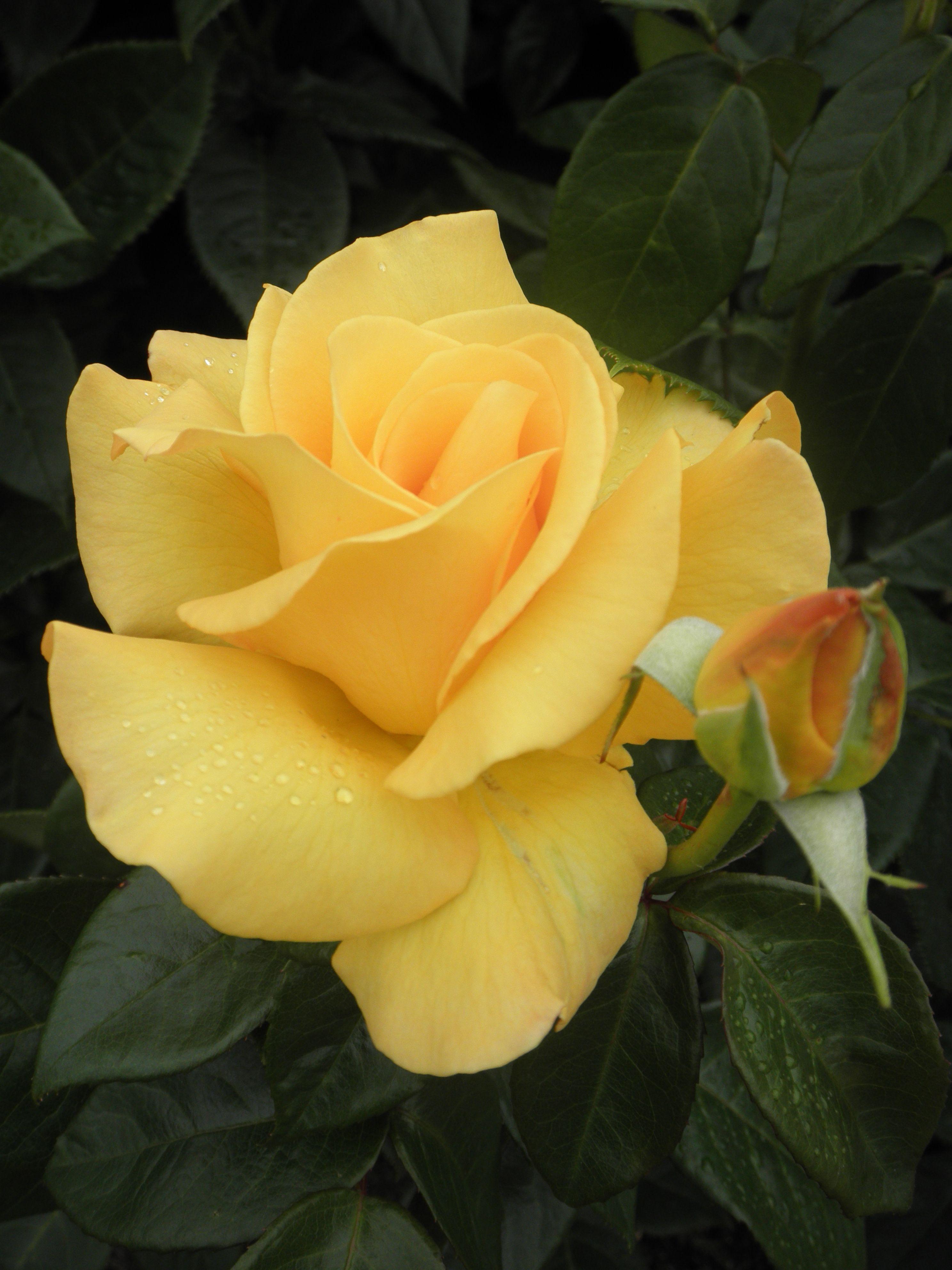Yellow Rose [in Queen's Rose Garden. London] Rosas