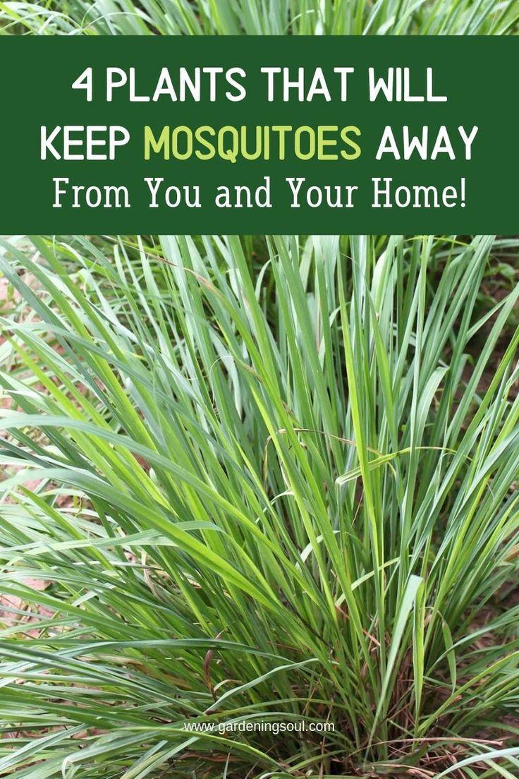 Plants That Repel Mosquitos Indoor