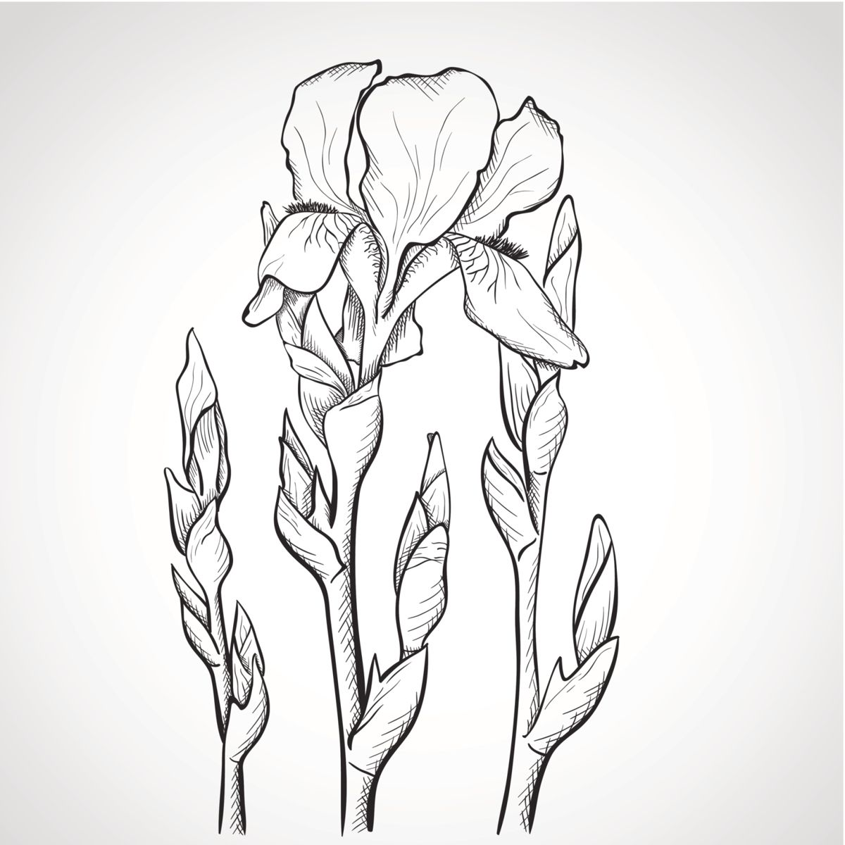 Iris sketch iris pinterest flower tattoos iris and iris tattoo flower iris sketch izmirmasajfo Images