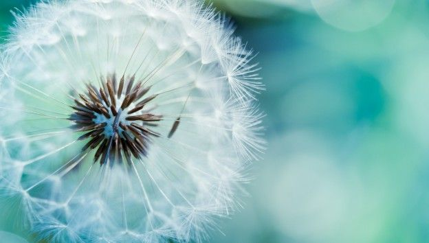 Dandelion Flowers Wallpapers Hd Pictures Dandelion Wallpaper Flower Wallpaper Bokeh Wallpaper