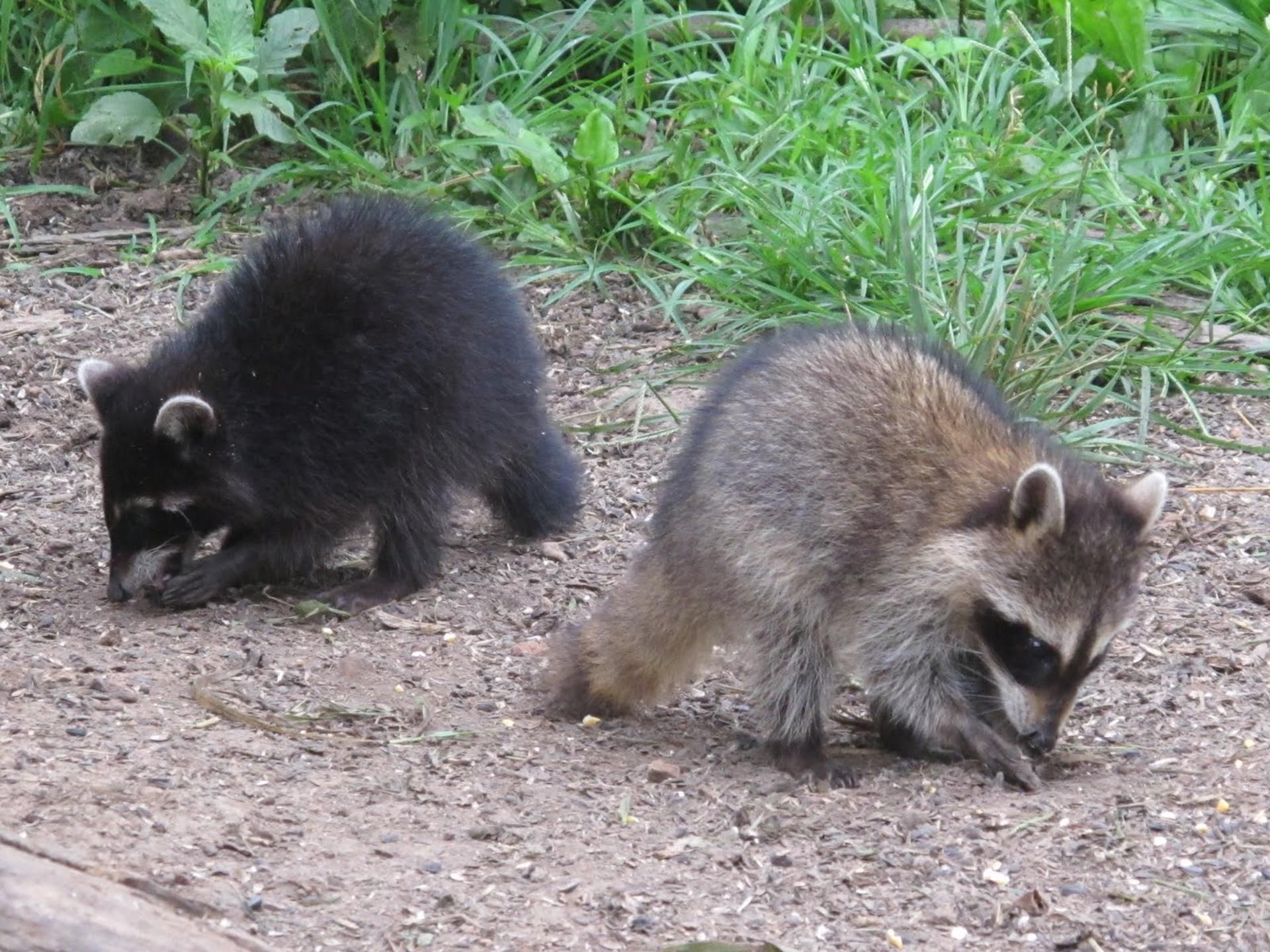 get awesome raccoons hd images in each new chrome tab raccoons