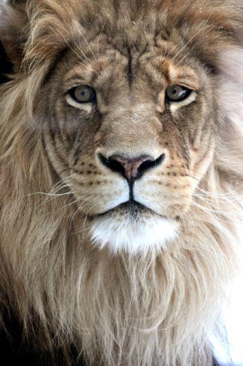 Lion...fierce and regal. Tattoo inspiration