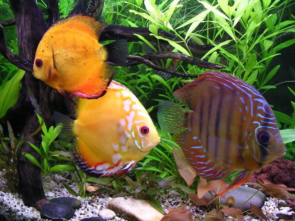 discus | Fish! | Pinterest | Acuario de agua dulce, Agua dulce y Acuario