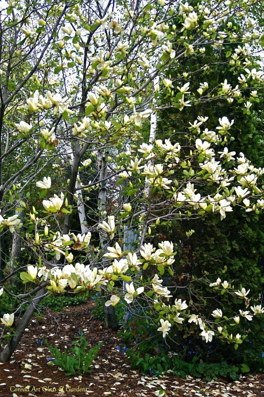 Magnolia Elizabeth Magnolia Acuminata X Denudata Planted In
