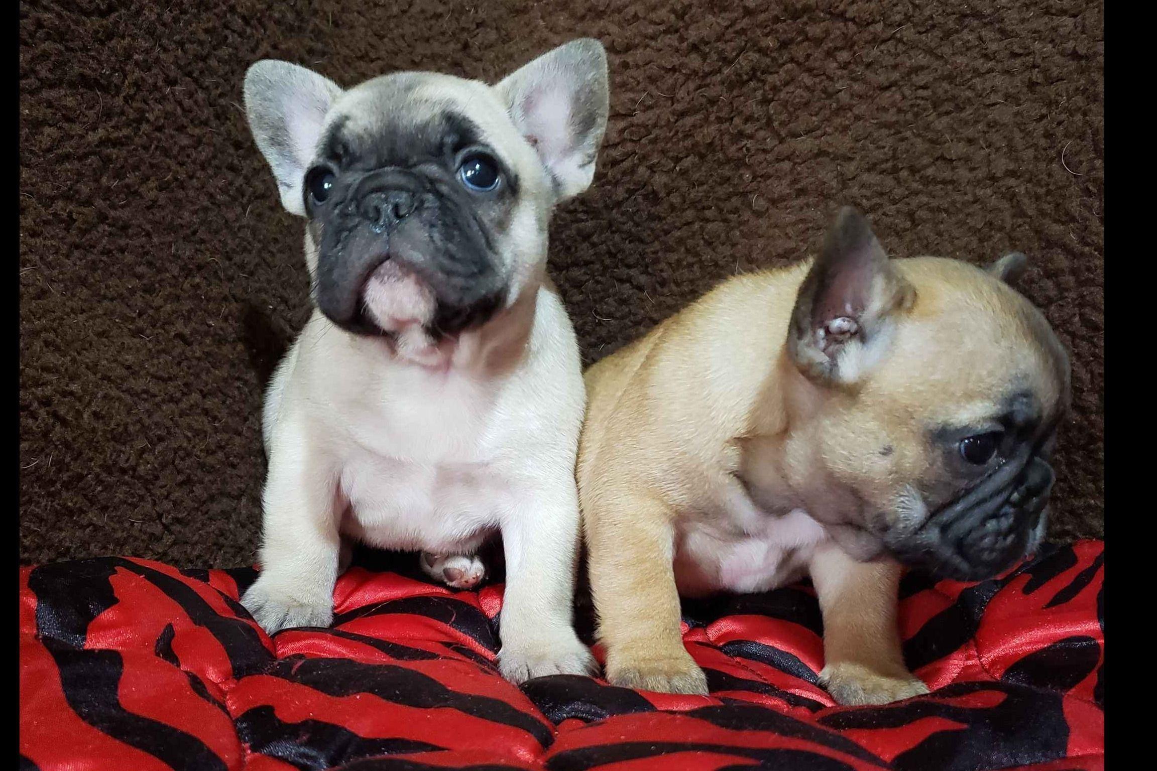 Premier French Bulldog Puppies In 2020 French Bulldog Bulldog