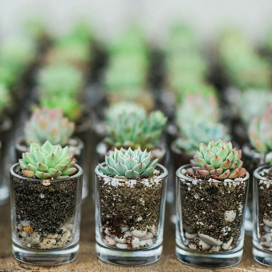 @terrariumsbybrooke  Perfect little wedding favours. An idea for you brides and grooms to be baby shower christening every event ever!  #succulents #succulent #succulentlove #succulentlover #succulove #succulenthoarder #succulentobsession #succulentobsessed #succulentporn #succulentfreak #succulenthoarder by succulent_obsession
