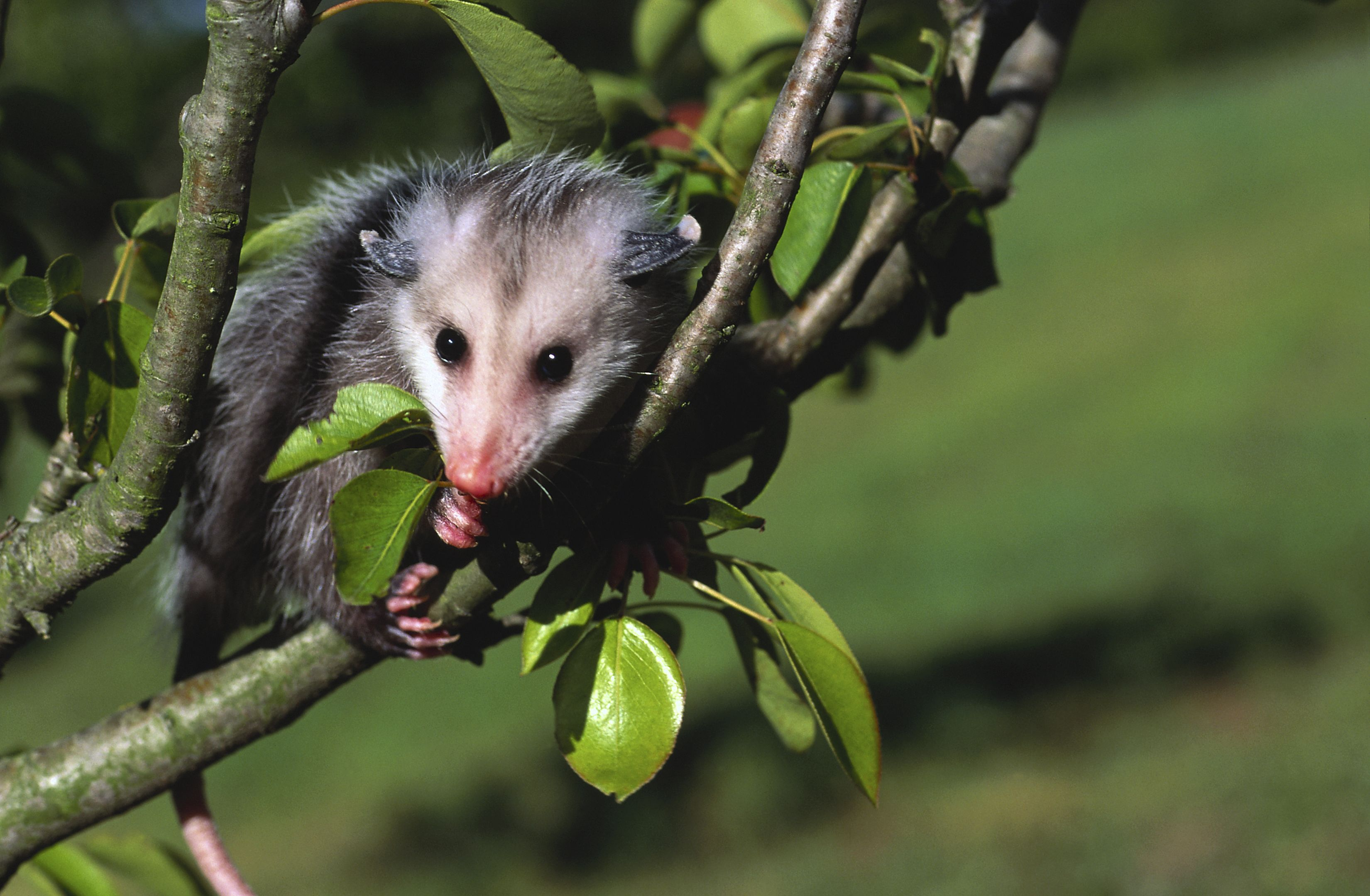 How to face paint for the day of the dead opossum facts