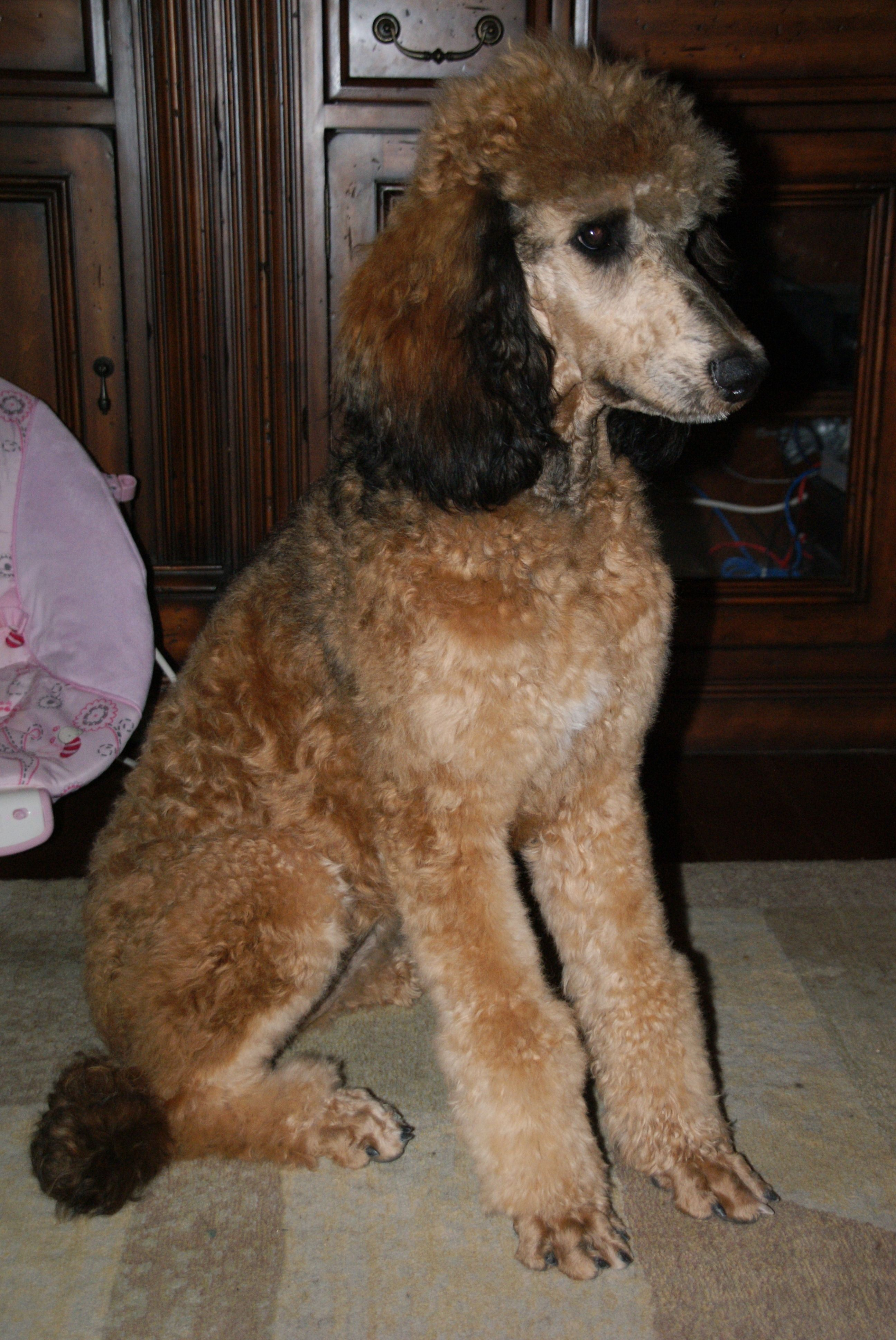 When Did I Start Thinking They Were Cute Sable Standard Poodle