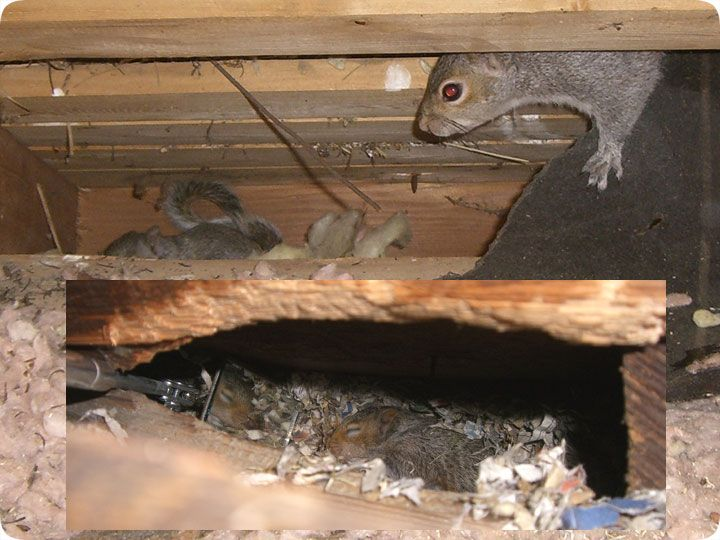 Image Result For What Do Squirrel Nests Look Like