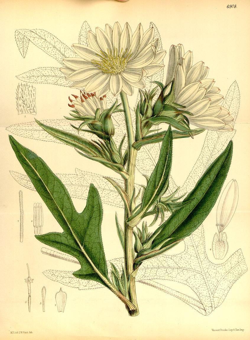 Curtis's Botanical Magazine, Silphium albiflorum (1887)