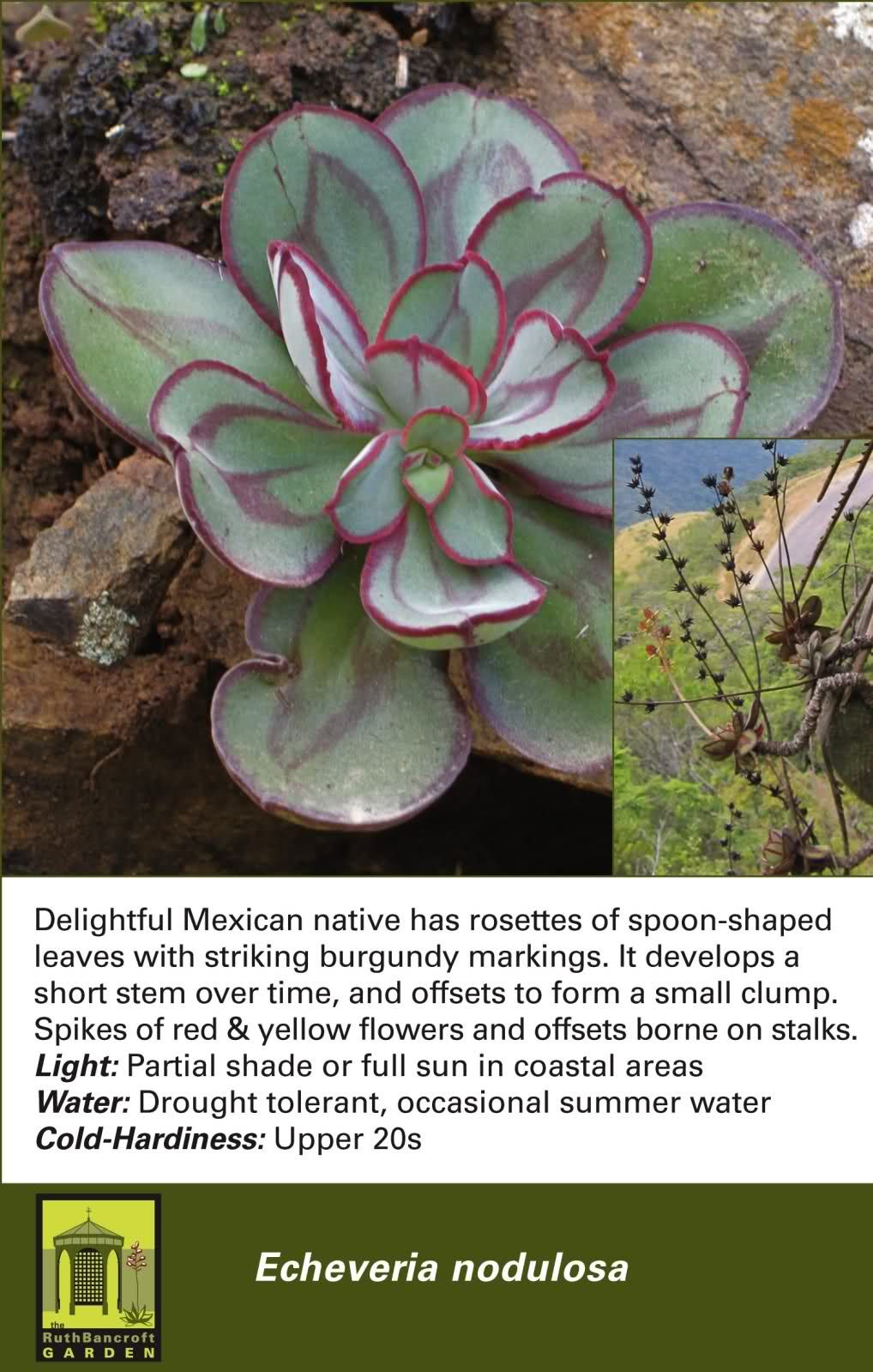Echeveria Nodulosa Low Water Plants Planting Succulents Succulents