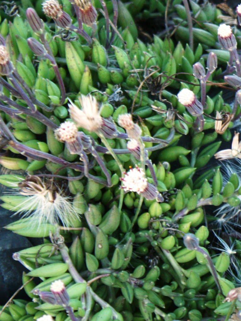 String of bananas plant - Curio Radicans Senecio Radicans String Of Bananas Necklace Plant String Of