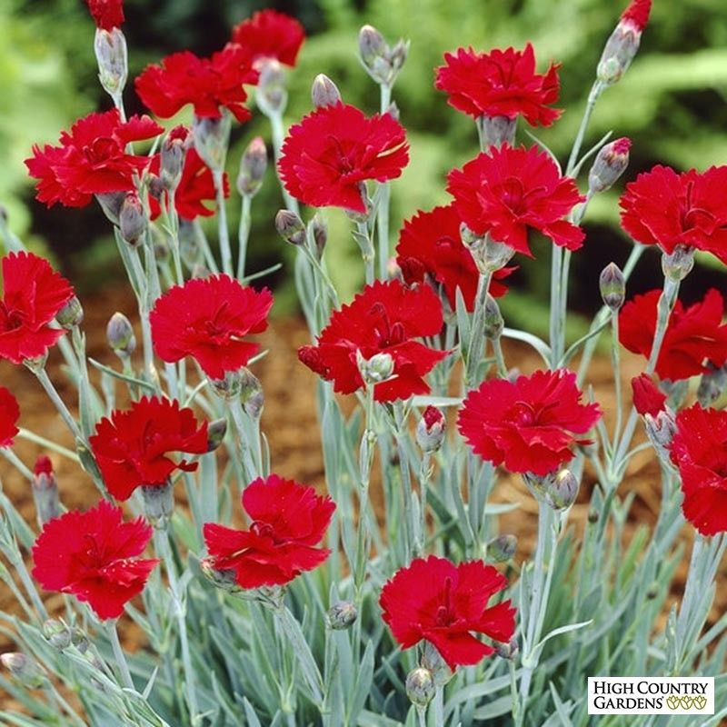 Fire Star Dianthus Bloom where youre planted, High