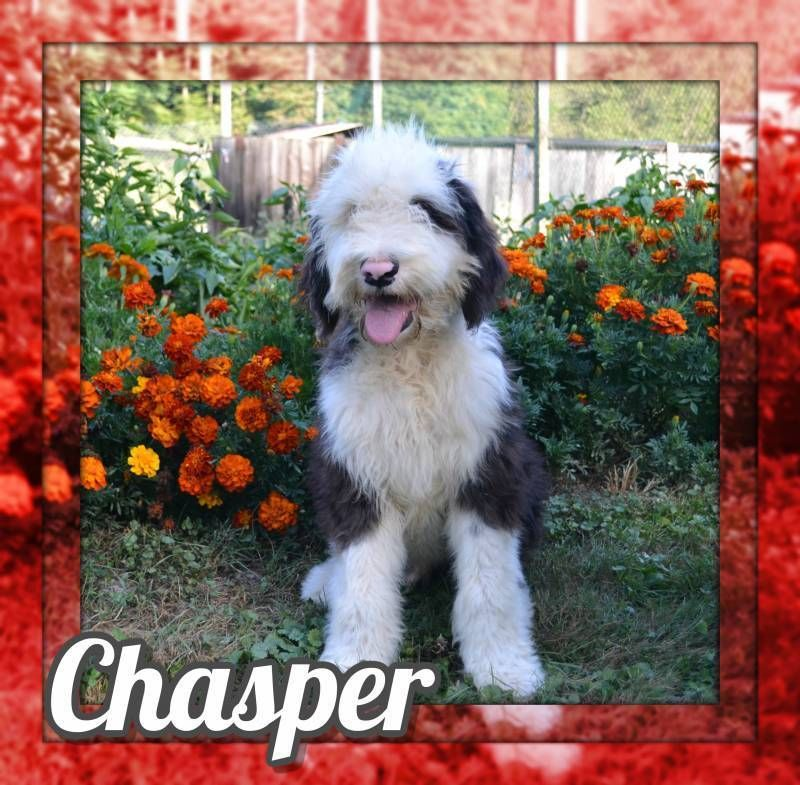 Chasper Male Sheepadoodle 975 Puppies For Sale Companion Dog Dogs