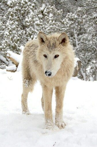 White Wolf - SAVE THE WOLVES