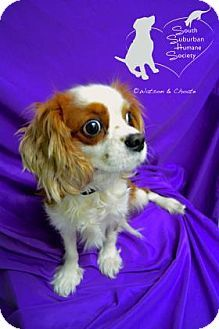 2 14 15 Chicago Heights Il Cavalier King Charles Spaniel Mix Meet Noah A Dog For Adoption Cavalier King Charles Spaniel Cavalier King Charles Dog Adoption