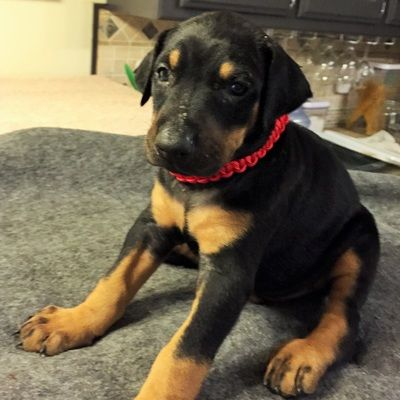 35 Days Old Pup 7 Doberman Pinscher Funny Doberman Pinscher