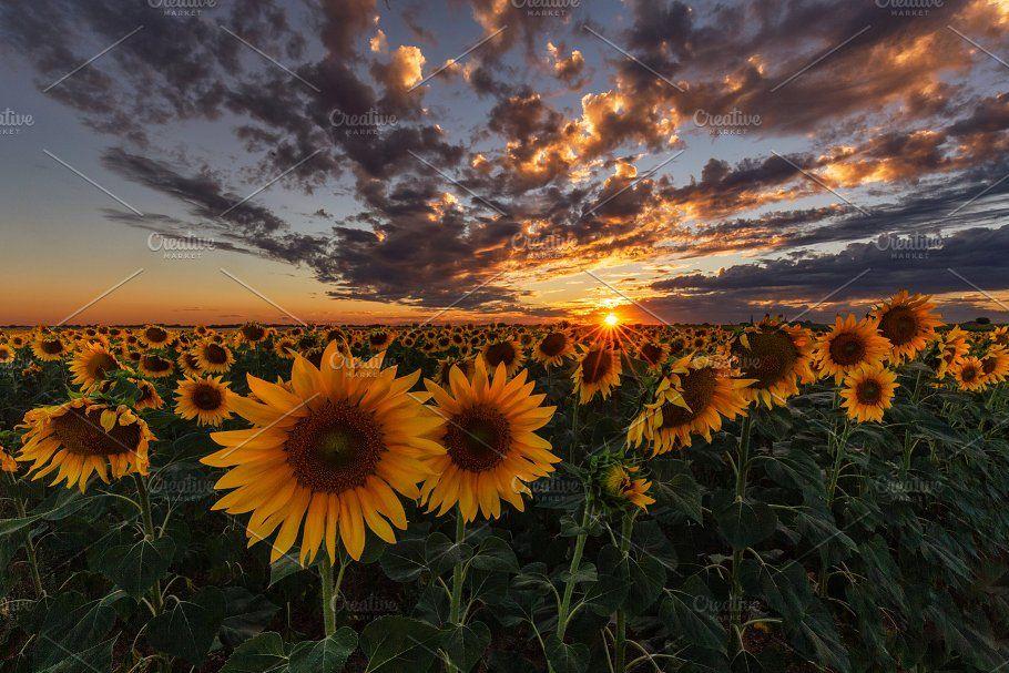 Sunset Over A Sunflower Field Field Wallpaper Nature Photography Trees Sunflower Fields