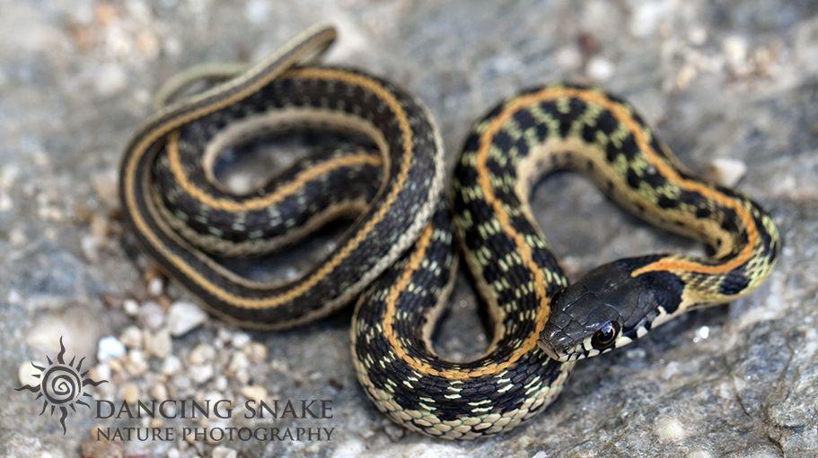 Reptiles Snakes Juvenile Black Necked Gartersnake Sabino