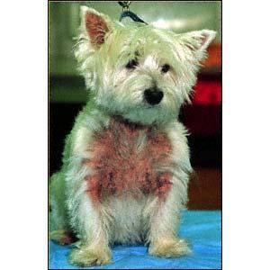 Skin Discharge Or Odor In Dogs Westie Dogs Happy Animals Dog