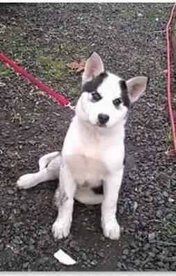 Name Lilly Animal Id 25075225 Breed Siberian Husky Mix