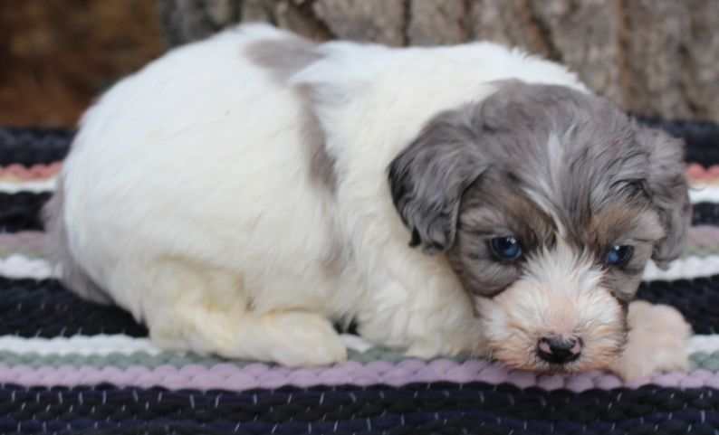 Puppies Saddleback Aussie Doodles Puppies Pup Dogs