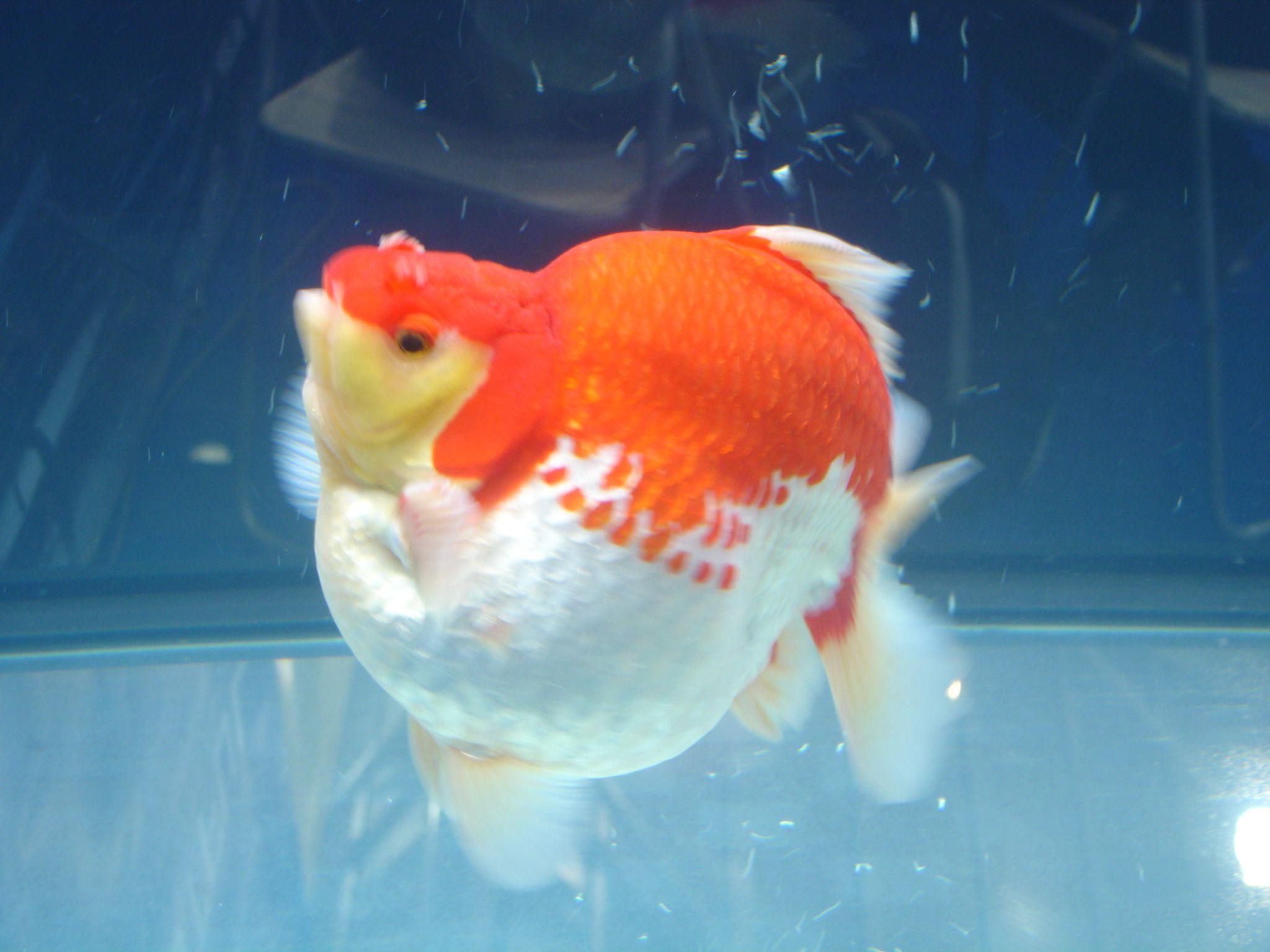 Golden Phoenix Fisheries Ryukin Ryukin Goldfish Goldfish Aquarium Fish