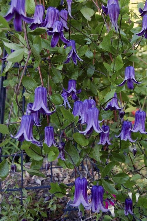 Clematis Rooguchi Clematis Rooguchi is a relatively new selection from Japan with a loose sprawling habit that can be allowed to ramble through your garden or can be guided and tied to supports. Its deep purple, 2.5 inch flowers have an open bell shape and are borne all summer long!