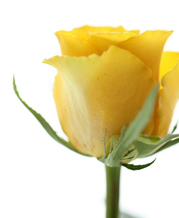 A Single Yellow Rose Would Be In My Bouquet 3 With Images