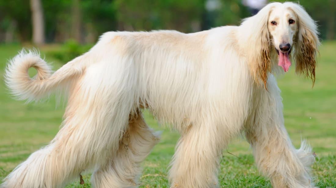 Dog Stuff By Smartdogstuff Afghan Hound Dog Breeds Hound Dog