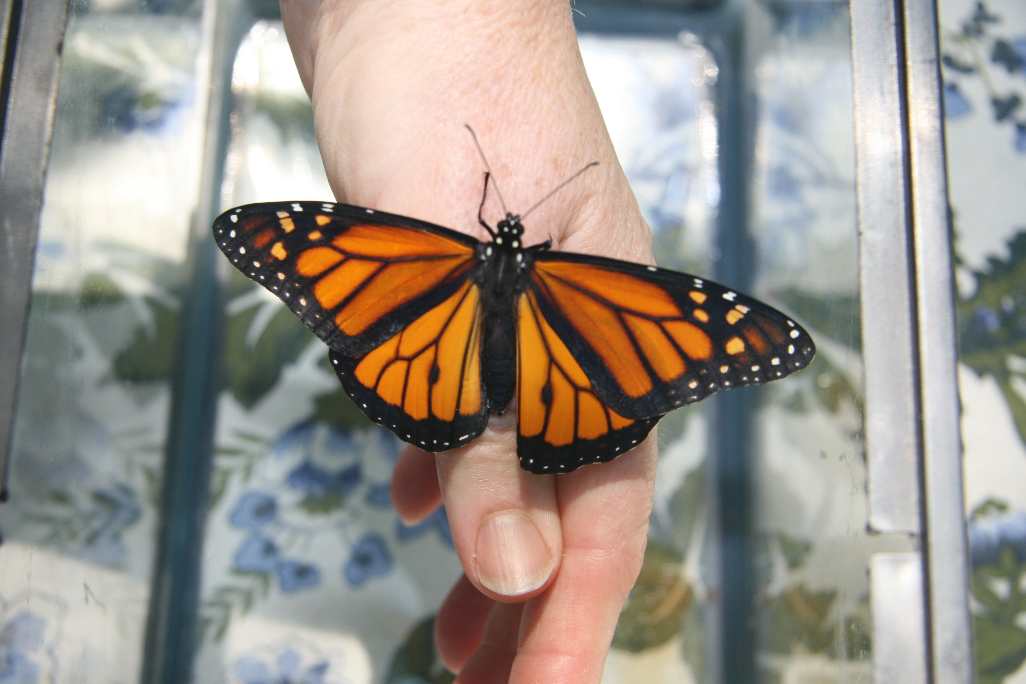 Raising Monarch Butterflies Good Bye Butterfly With