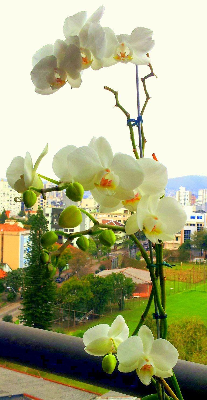 4ª floração da minha orquídea <3
