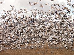 Wildlife: Sandhill cranes migrating through Colorado