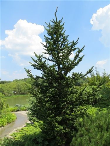 Picea Abies Hillside Upright Norway Spruce Plants I Bought