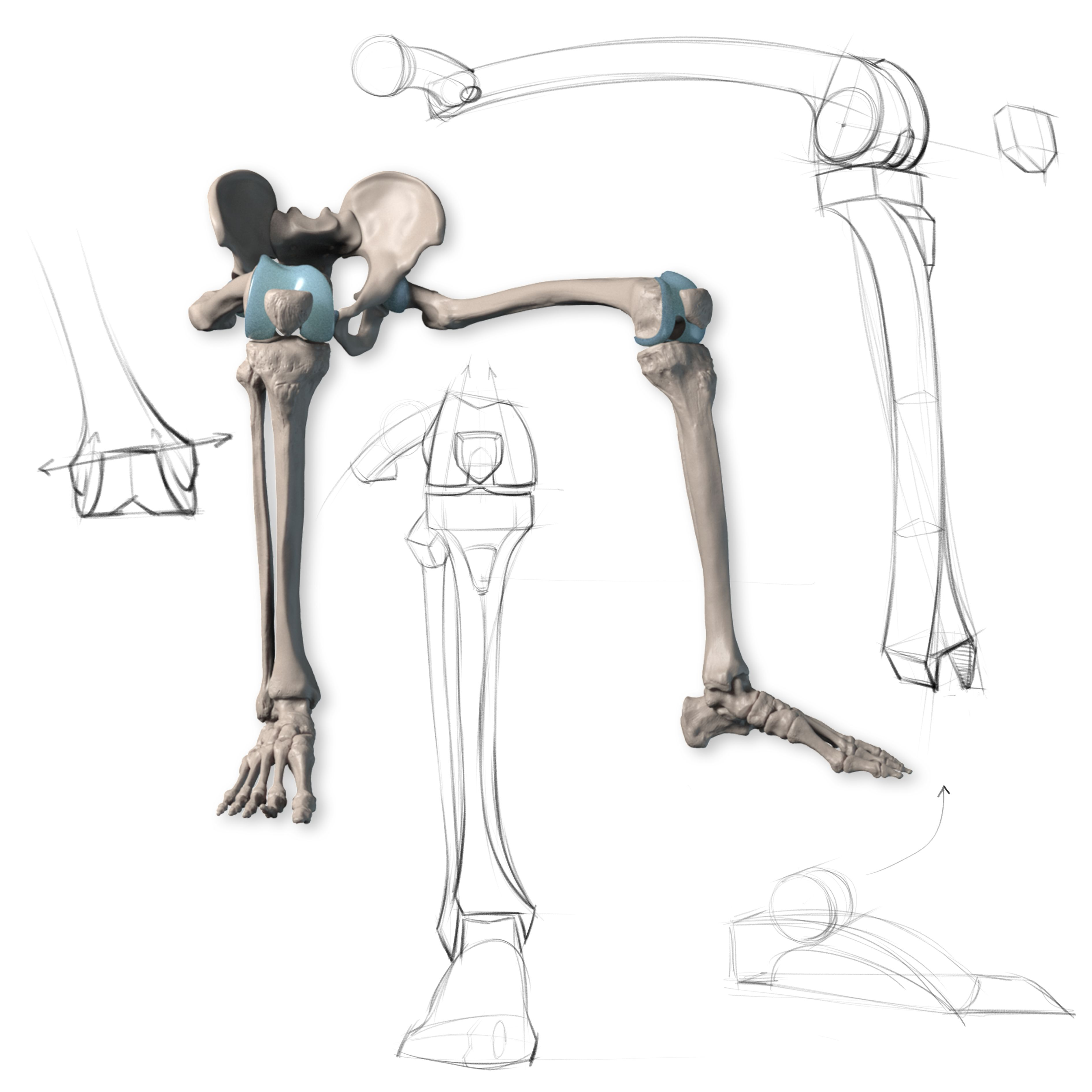 Anatomy of the Human Body for Artists Course   Anatomy, Legs and ...