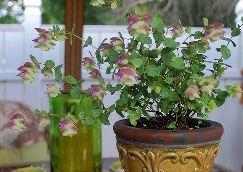 Ornamental oregano kent beauty origanum rotundifolia patio and ornamental oregano kent beauty origanum rotundifolia workwithnaturefo
