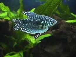 Opaline Gourami Aquarium Fish Fresh Water Fish Tank Tropical Fish