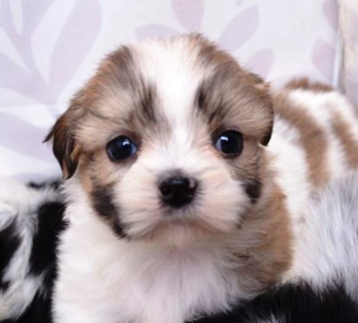 Shih Tzu Puppies For Sale Abilene Texas Currently Being A Breader