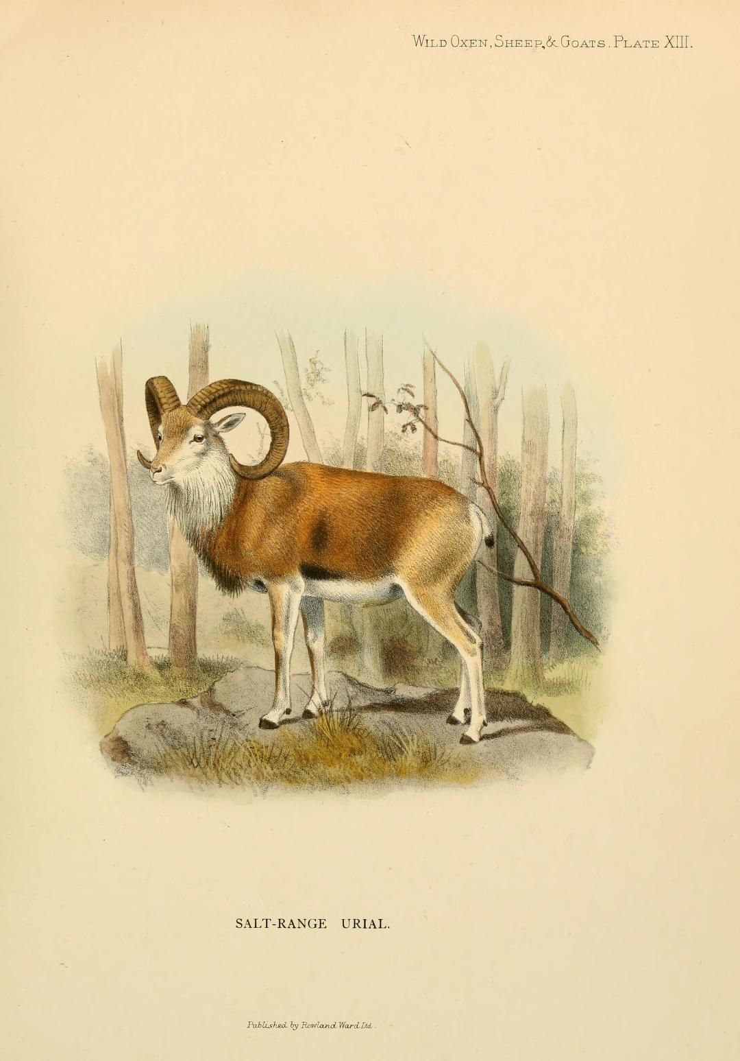 Sheep Goats Wild Oxen Of All Lands Living And Extinct