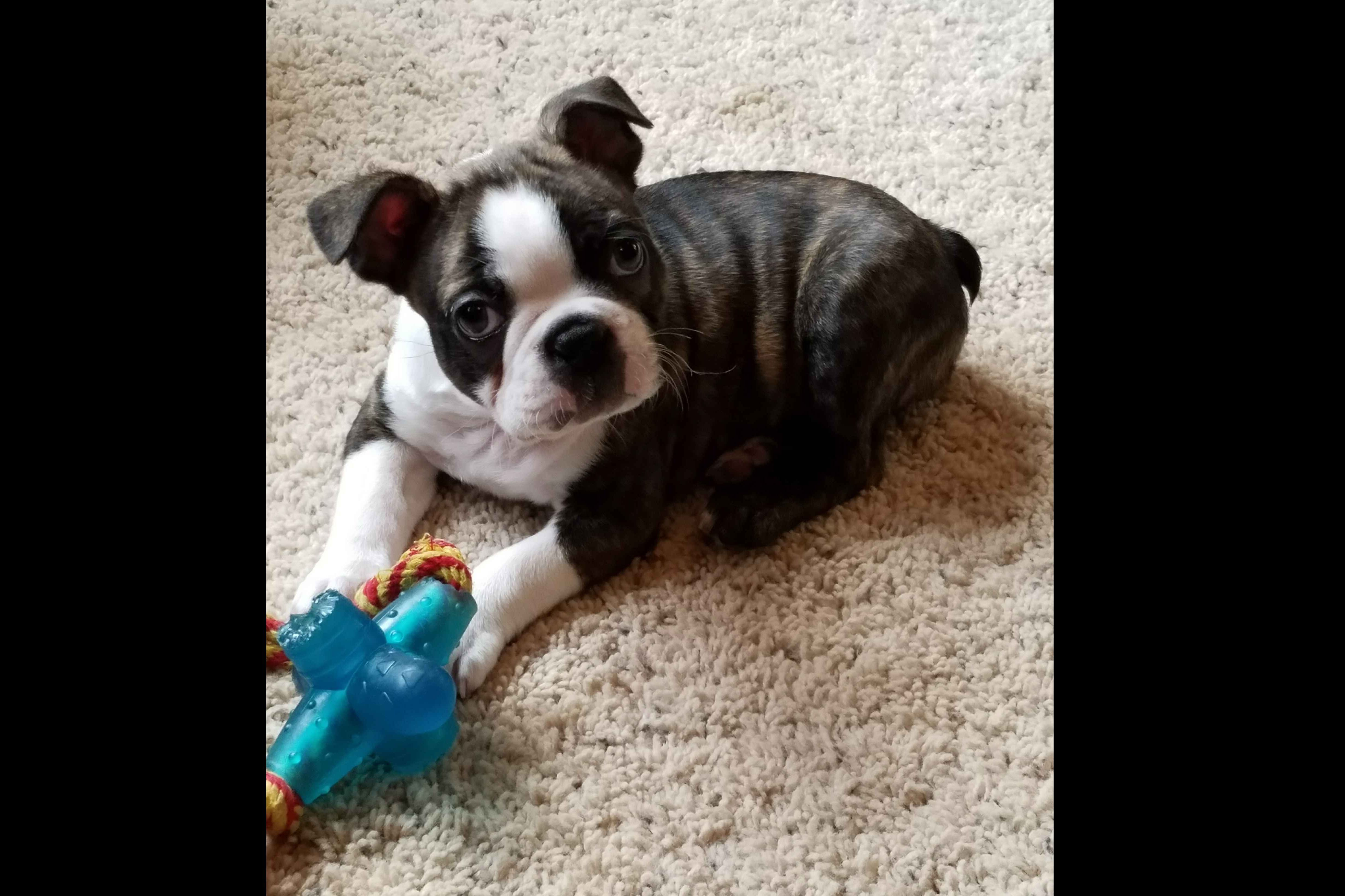 Kefi Bostons Has Boston Terrier Puppies For Sale In Ann Arbor Mi On Akc Puppyfinder Boston Terrier Boston Terrier Puppy Boston Terrier Breeders