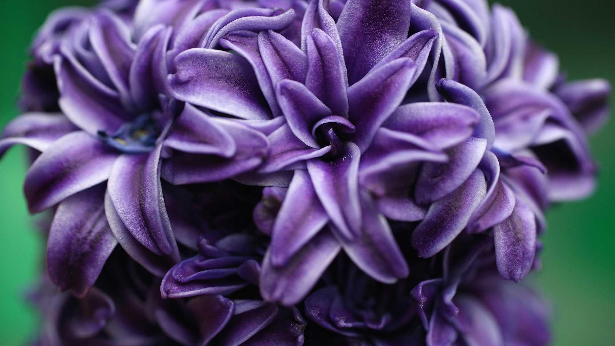 Winter - hyacinth