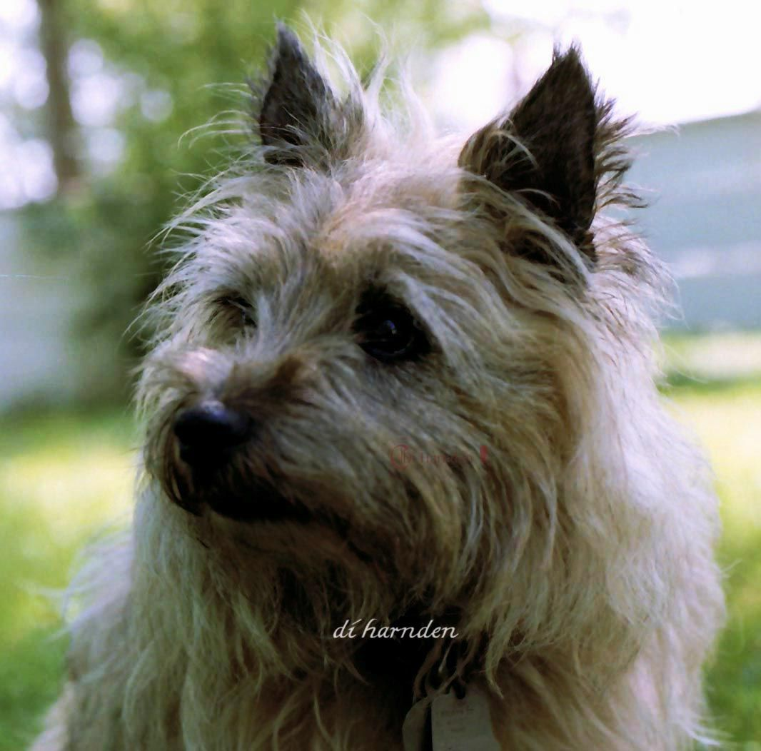 Charlee A Senior Cairn Terrier Norwich Terrier Terrier