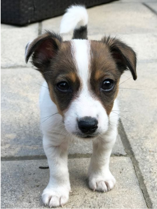 Jack Russell puppy Jack russell puppies, Puppies, Dogs