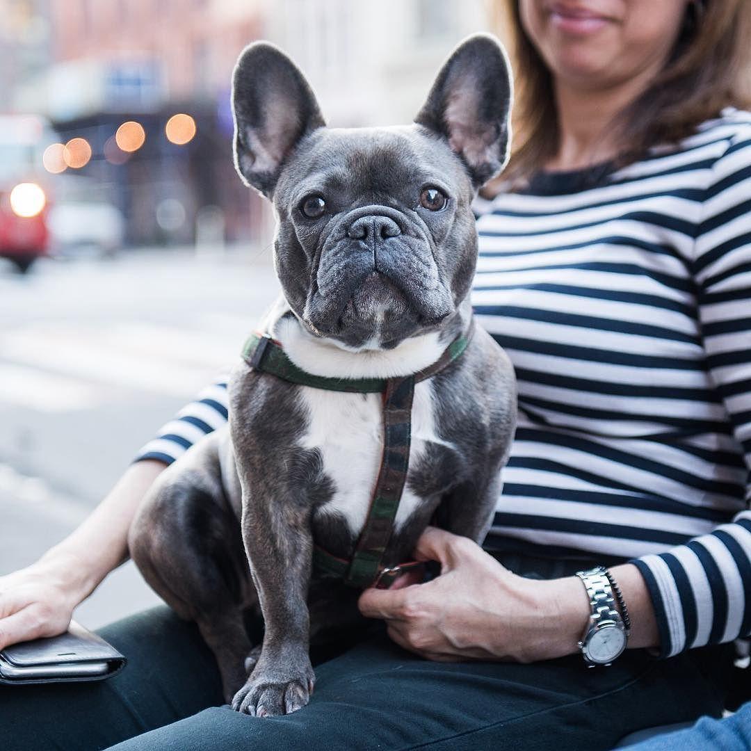 Bowie French Bulldog (1 y/o) Lafayette & E 4th St. New