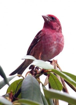 In Late Summer The Purple Finch Begins To Molt And In Winter Plumage A Male S Reddish Areas Appear Frosted The Rich Breedin Bird Species Spring Birds Birds