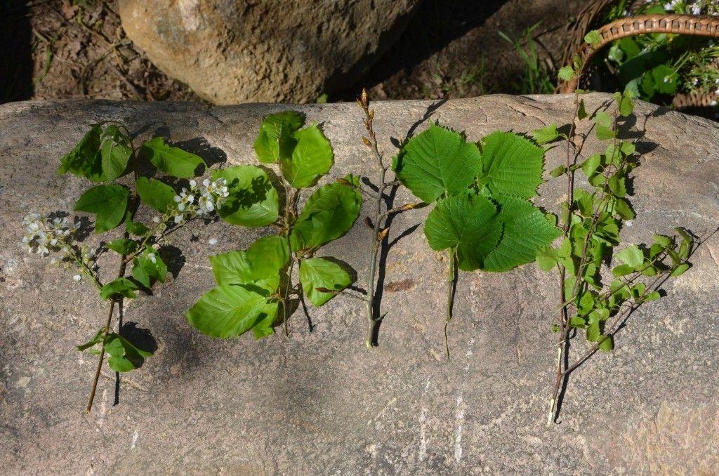 Zielarski Sprint Kwietniowe Zbiory Roslin Leczniczych I Jadalnych H E R B I N E S S Plants