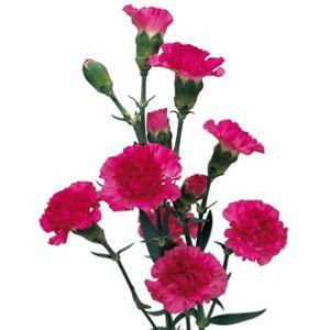 Mini Carnations Mini Carnations Carnation Flower Wholesale Flowers